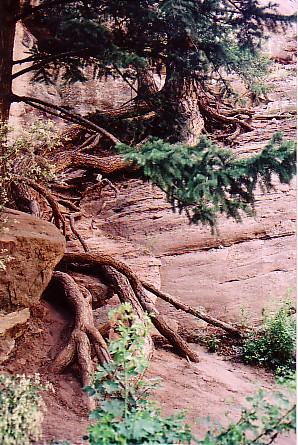Ouray trip 05 Gnarled roots beside Hays Creek Falls.jpg