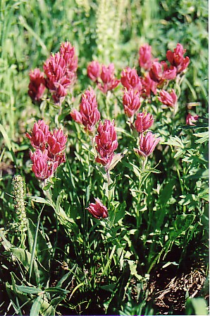 Ouray trip 05 Indian paintbrush Yankee Boy Basin.jpg