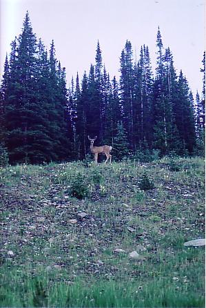 Ouray trip 05 deer by roadside.jpg