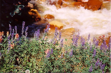 Ouray trip 05 flowers along red mtn creek.jpg